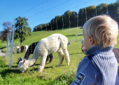See Alpakas Weyregg am Attersee