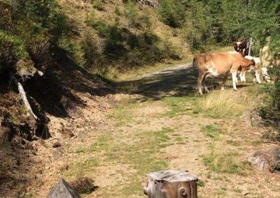 Freilaufende Kühe am Weg