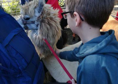 Kind streichelt ein Alpaka.
