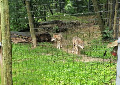 Die Wölfe im Tierpark Haag lassen sich nur selten sehen