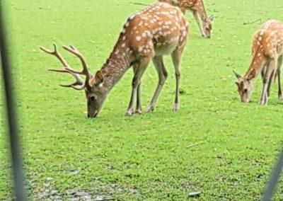 Das große Gehege der Hirsche