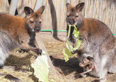 No Kangoroos in Austria! Stimmt nicht. Im Schutzhaus mit Kängurufarm in Niederösterreich sind sie zu finden.