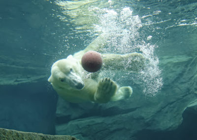 Eine weitere Attraktion: Der Eisbär