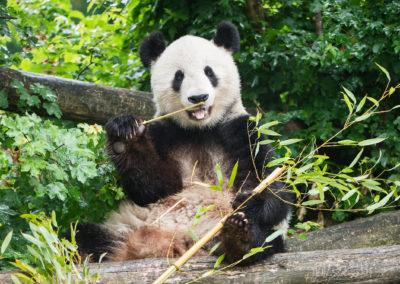 Der große Panda, einer der Attraktionen im Wiener Zoo