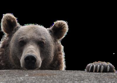 Schauender Bär