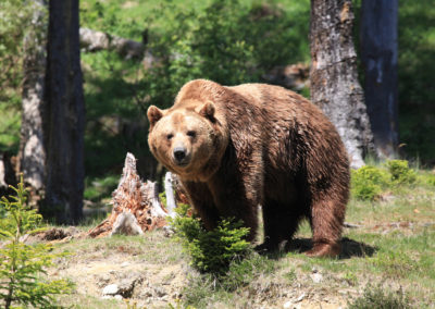 Auch Bären gibt es am Wilden Berg in Mautern